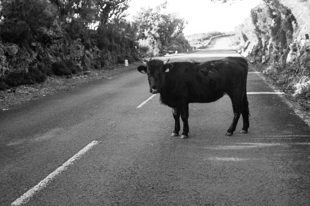 vache madère
