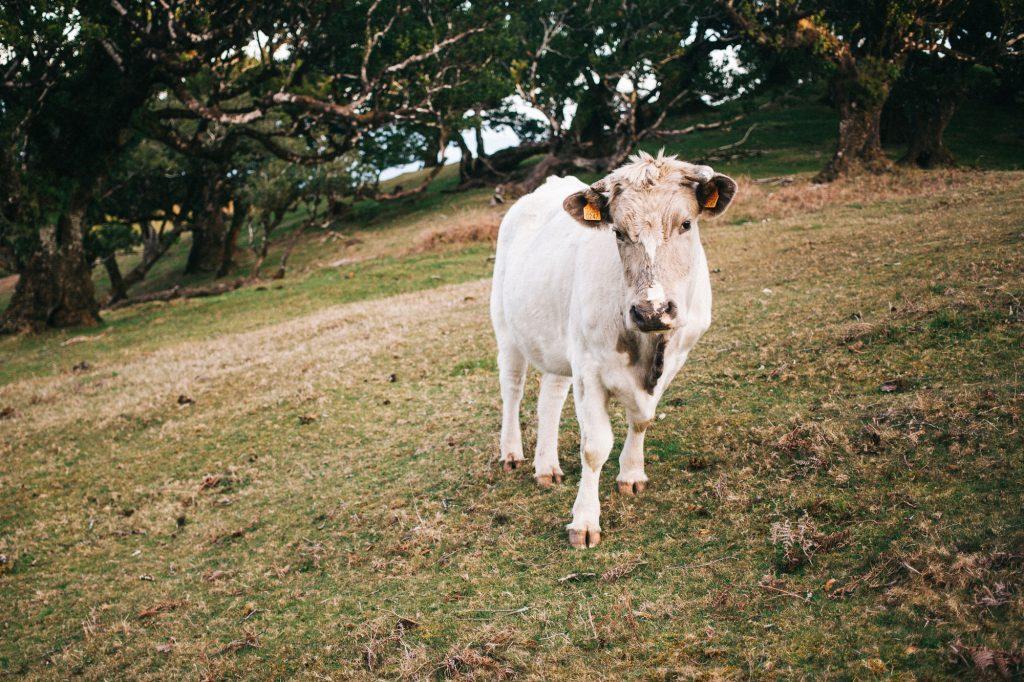 photographie de vache
