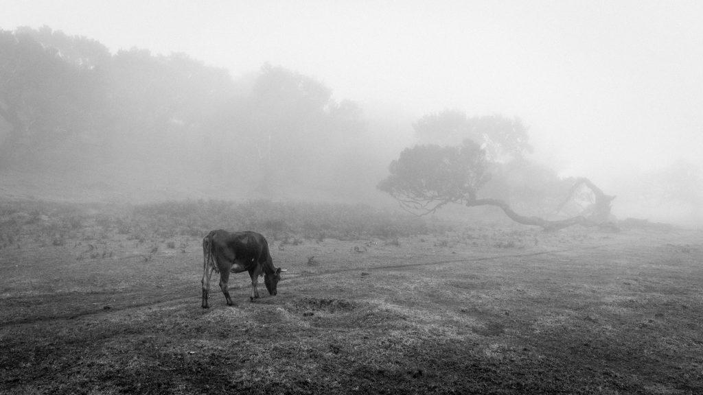 vache photograph