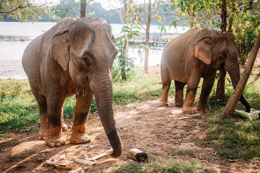 les éléphants du Laos
