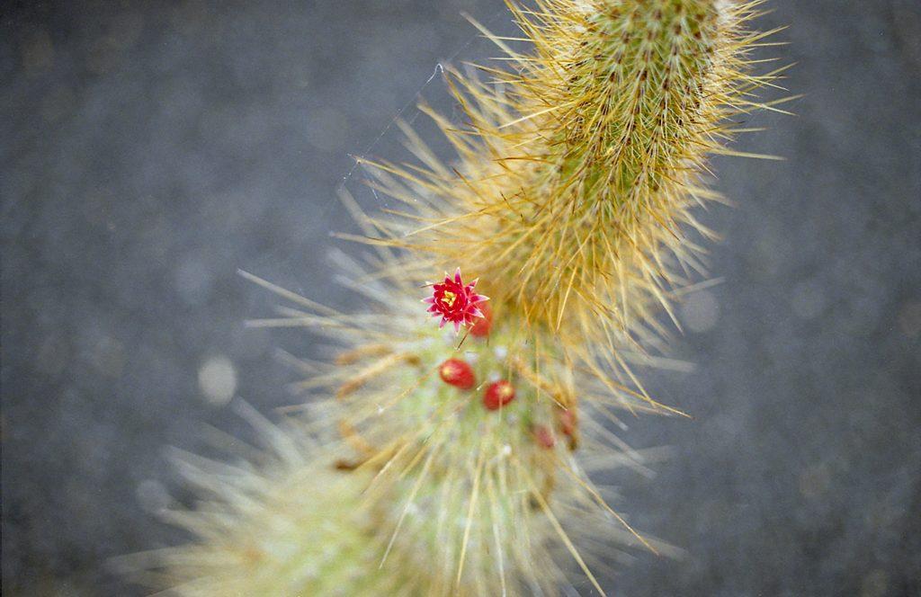 cactus argentique