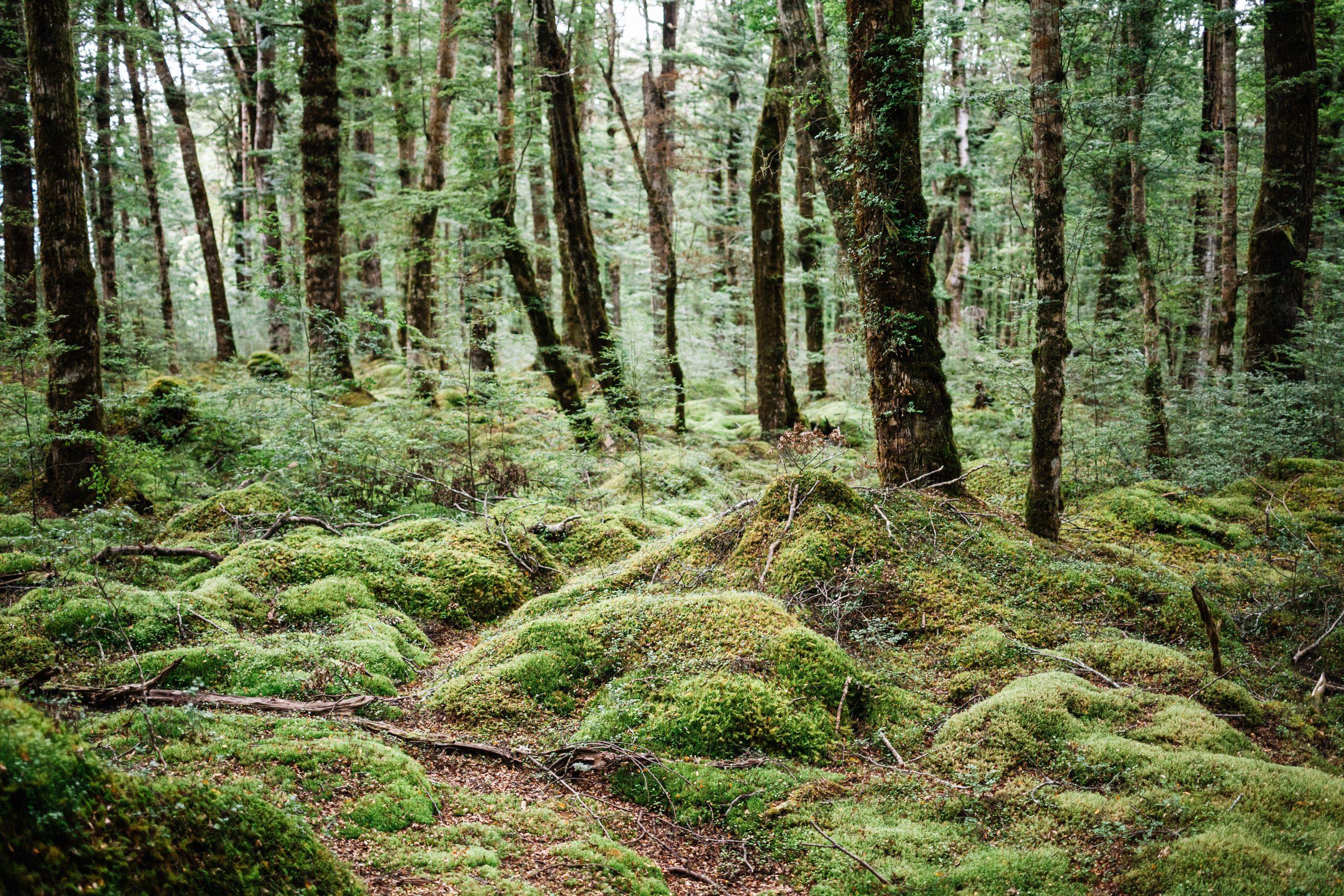 Dans les forêts de Nouvelle Zélande